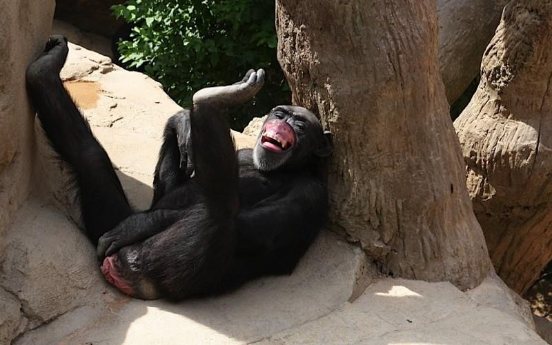 Deja su fortuna a seis chimpancés